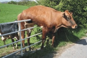 cow_stuck_on_the_fence-300x199